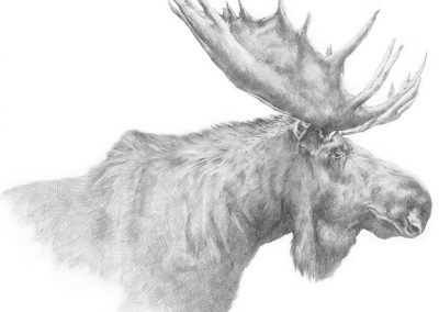 M-J Kelley's drawing of a moose. Graphite.