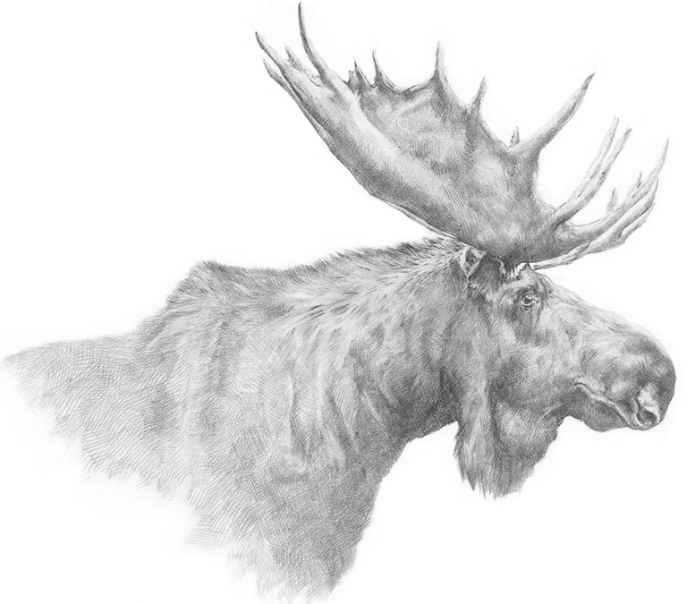M-J Kelley Studio - Wildlife Drawing - Moose