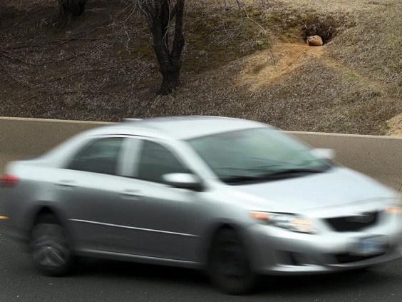 Image of a car in the foreground driving on the Don Valley Parkway with a groundhog in the background watch the car(s) go by.
