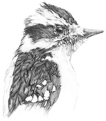 M-J Kelley's drawing of a woodpecker. Graphite.