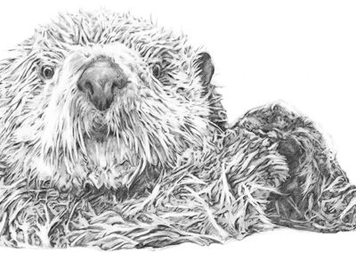 M-J Kelley's drawing of a Sea Otter. Graphite.