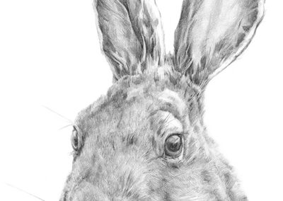 M-J Kelley's drawing of Evin a Snowshoe Hare. Graphite.
