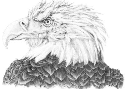 M-J Kelley's drawing of a Bald Eagle named Medicine Man. Graphite on paper.
