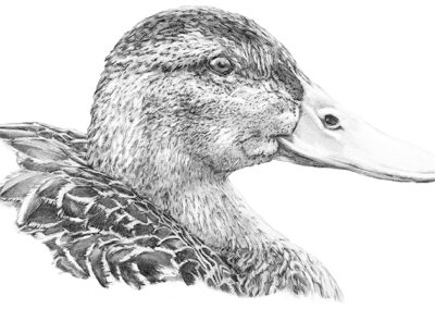 M-J Kelley's drawing of a Mallard duck named Molly Mulhern. Graphite on paper.
